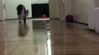 Cat Loves to Play with Her Orange Ball