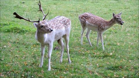 Pair of Fallow Deer And Ayl Eating In Garden