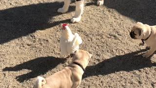 Chicken Takes Refuge on Dogs Back