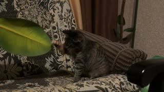 Funny game of a young cat with a ficus leaf