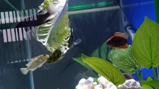 Fish eating lettuce