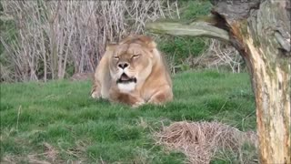 To learn about lion