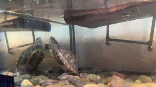 Turtle named Flash eating shrimp 2