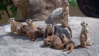 A Meerkat Family enjoying Their Day