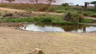 Lion Fails To Catch Gazelle In Epic Safari Footage