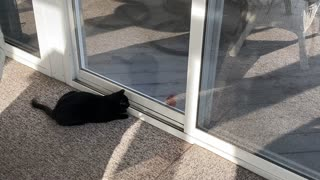 Cat Plays with Bird through Tinted Window