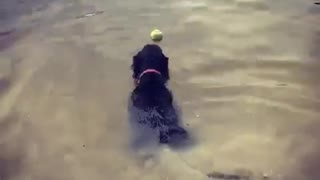 Dog can't swim - loses tennis ball in River Dee