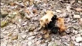 Funny dog Fight vs chickens