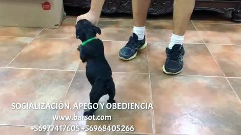 French Bulldog Cute Puppy!!