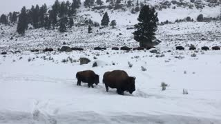 Bison On The Move Through Yellowstone