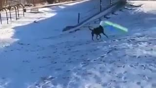 Dog is playing amazing.