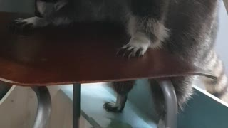 standing peeing raccoon