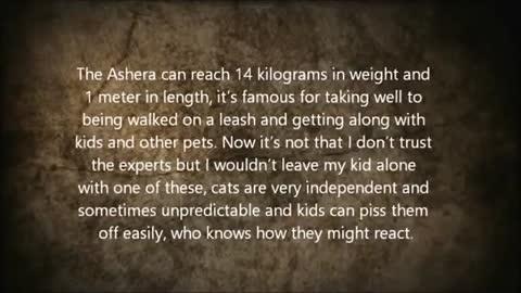 Cats - Ashera Cat