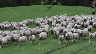 Shepherd dogs guide a thousand sheep in the corral