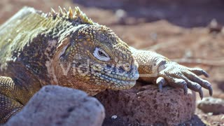 Extreme close up of a land iguana
