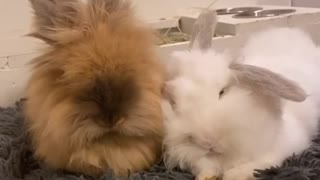 Bunny rabbits preciously cuddle with each other