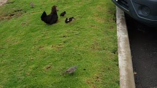 Maui Chickens 1