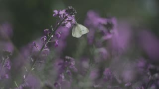 A Beautiful Green butterfly moves between flowers