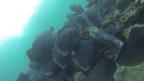 Amazing Diving with the Green Humphead parrotfish!