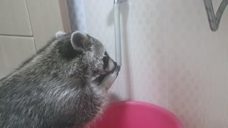 Social distancing raccoon turns on water to wash his hands