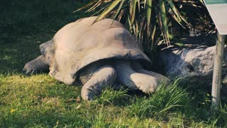 The aldabra gigantic tortoise