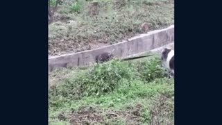 Dog rescues puppy from storm drain