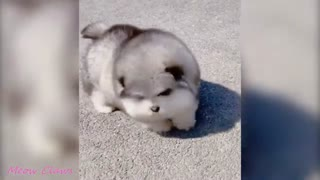 Baby Alaskan Malamute Cutest and Funniest Moments 😍| Try Not To Laugh.