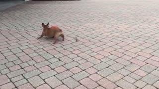 Playful English Bulldogs