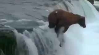 Two Brown bears are fighting in water