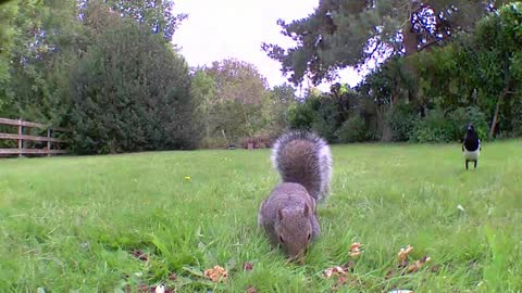 Grey squirrel eating nuts in an English garden