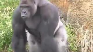 Black rare Gorilla running around waking up his crew