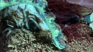 Juvenile Mexican Red Knee Tarantula Molting Time-Lapse