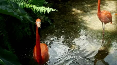 Flamingos in a lake in the jungle - With beautiful music