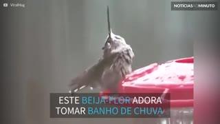 Beija-flor se diverte tomando banho de chuva