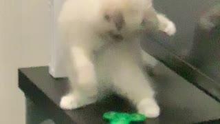 Curious Kitten Baffled by Fidget Spinner
