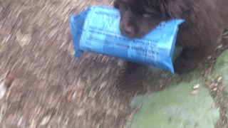 Strong Newfoundland puppy learns to deliver the paper