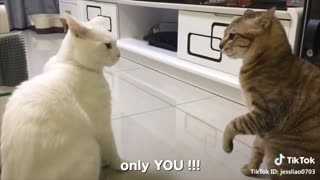 Cats talking !! these cats can speak english better hahahaha