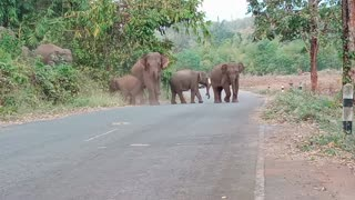 Large Family of Elephants Crosses the Road
