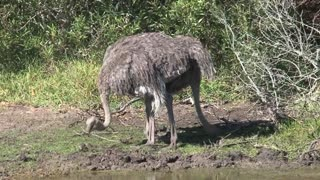 Ostriches searching for food