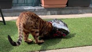 Bengal cat gets his head stuck inside cardboard box