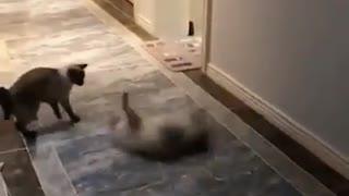 Funny cat scene 2021