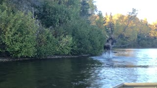 Couple Catches Moose Swimming Across Alaskan River