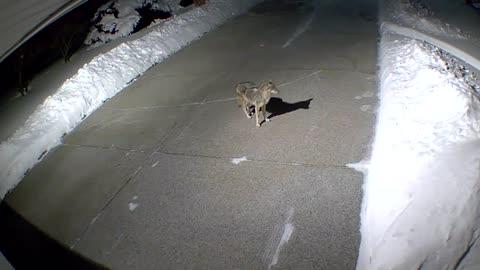 Coyote pacing