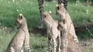The lion saved the deer from the leopard and treated it like a baby