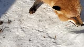 Finnegan the Friendly Fox