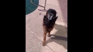 Funny and cute German shepherd dog funny moment