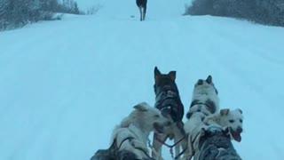 Moose Makes Way for Dog Sled Team