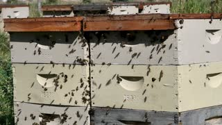 Honey Bees Swarming The Hives