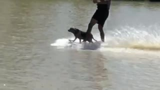 Wakeboarding dog is the coolest pup on the lake