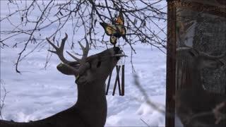 Rescued Deer Licks Wind Chimes